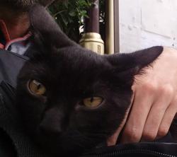 Charbon, chat Européen
