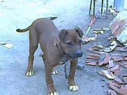 Charle, chien