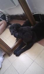 Charles, chien Labrador Retriever