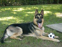 Charley, chien Berger allemand