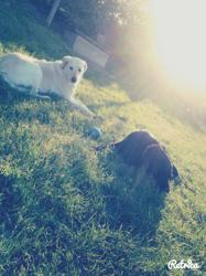Charli, chien