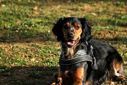 Charlie, chien Épagneul breton