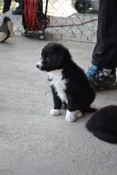 Charlie, chien Border Collie