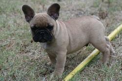 Charlie, chien Bouledogue français