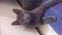 Charlie, chat Chartreux