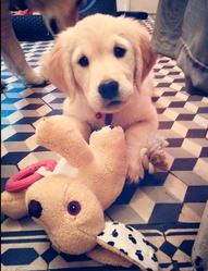 Charlie, chien Golden Retriever
