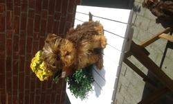 Charlie, chien Yorkshire Terrier