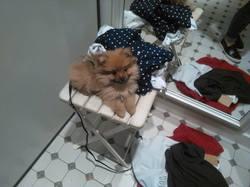 Charlie, chien Spitz allemand