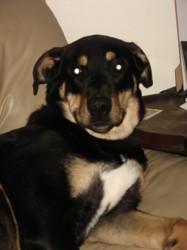 Charlie, chien Labrador Retriever