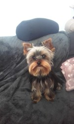 Charlie, chiot Yorkshire Terrier
