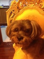 Charlie, chien Lhassa Apso