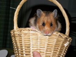 Charlie, rongeur Hamster