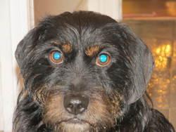 Charlie, chien Beagle-Harrier