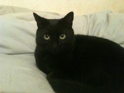 Charlie, chat Européen
