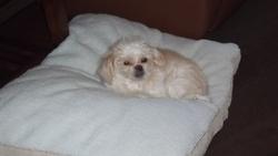 Charlie, chien Shih Tzu