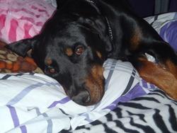 Charlie, chien Rottweiler