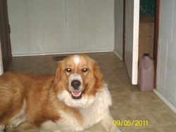 Charlie, chien Bouvier bernois