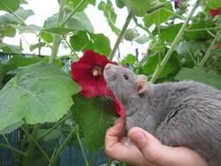 Charlie, rongeur Rat