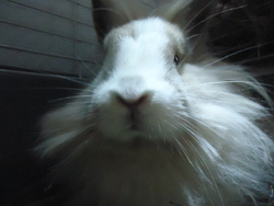 Charlie, rongeur Lapin