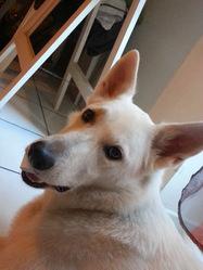 Charlie, chien Berger blanc suisse