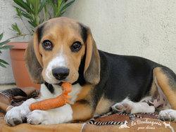 Charlie Bear, chien Beagle