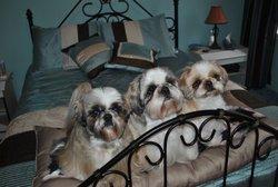 Charlie,Polyana Et Mimi, chien Shih Tzu