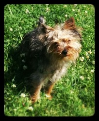 Charlo, chien Yorkshire Terrier