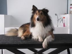 Charlo, chien Berger des Shetland