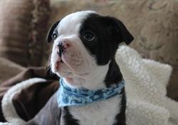 Charlot, chien