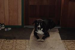 Charlot, chien Labrador Retriever