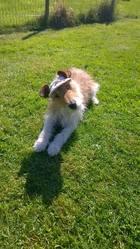 Charlot, chien Fox-Terrier