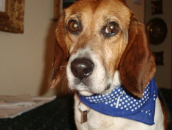Charlot, chien Beagle