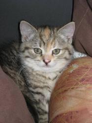 Charlote, chat Européen