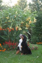 Charlotte, chien Bouvier bernois