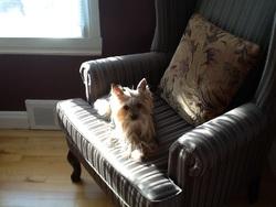 Charlotte, chien Yorkshire Terrier