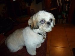 Charlotte, chien Shih Tzu