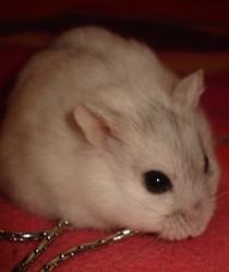 Charlotte, rongeur Hamster
