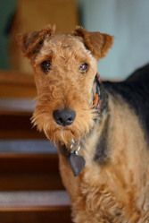 Charlotte, chien Airedale Terrier
