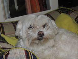 Charlotte, chien Bichon maltais