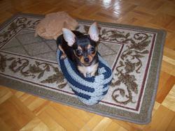 Charlotte, chien Chihuahua