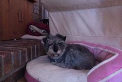 Charlotte, chien Schnauzer