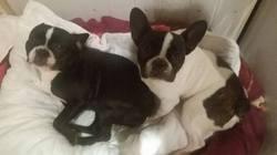 Charlotte, chien Bouledogue français