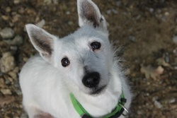 Charly, chien Jack Russell Terrier