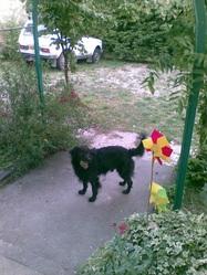 Charly, chien Chien d'arrêt portugais