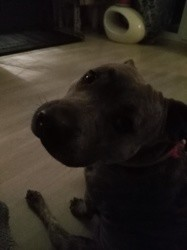 Charly, chien Bichon maltais