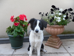 Charly, chien Border Collie
