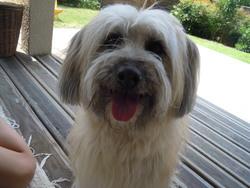 Charly, chien Berger des Pyrénées