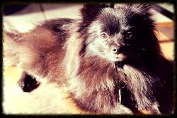Charly, chien Spitz japonais