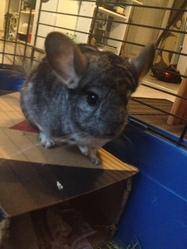 Charly, rongeur Chinchilla