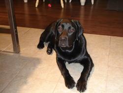 Charly Demi-Frère De Philae, chien Labrador Retriever